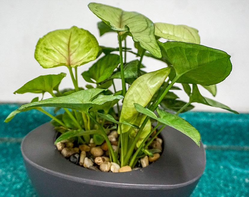 microplantas_sa36